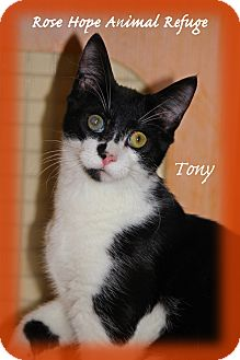 Domestic Shorthair Kitten for adoption in Waterbury, Connecticut - Tony