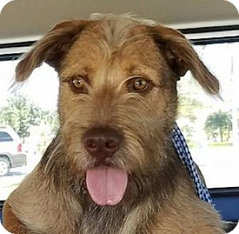 Terrier (Unknown Type, Medium)/Wirehaired Fox Terrier Mix Dog for adoption in Miami, Florida - Tito
