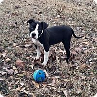 Adopt A Pet :: Leo pending adoption - Manchester, CT