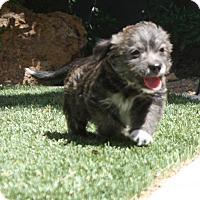 Adopt A Pet :: Hugo - Henderson, NV