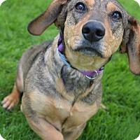 Adopt A Pet :: Iona - Danbury, CT