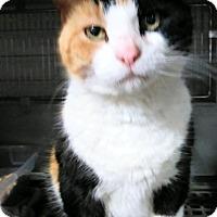 Adopt A Pet :: Chopsticl - Trevose, PA