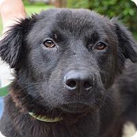 Adopt A Pet :: Bear - Plainfield, CT