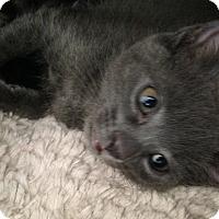 Adopt A Pet :: Calder - San Ramon, CA