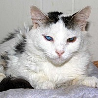 Domestic Mediumhair Cat for adoption in Central Islip, New York - April