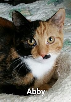 Calico Cat for adoption in Marlton, New Jersey - Abby