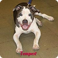 Adopt A Pet :: Tempest - Cheney, KS