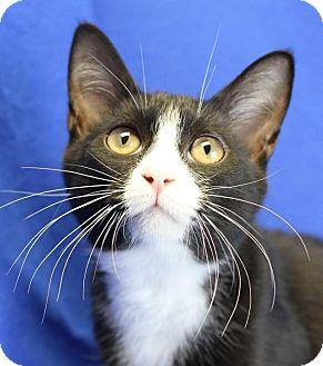 Domestic Shorthair Cat for adoption in Winston-Salem, North Carolina - Johnny