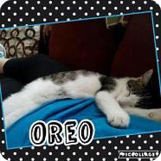 Domestic Shorthair Kitten for adoption in Greensburg, Pennsylvania - Oreo