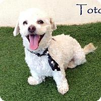 Adopt A Pet :: Toto - San Diego, CA