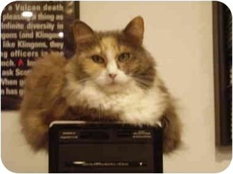 Domestic Mediumhair Cat for adoption in Washington Terrace, Utah - Misty