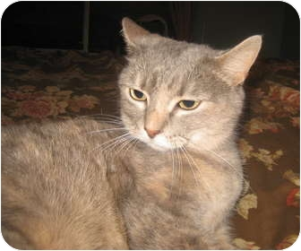 Domestic Shorthair Cat for adoption in New Egypt, New Jersey - Zoey