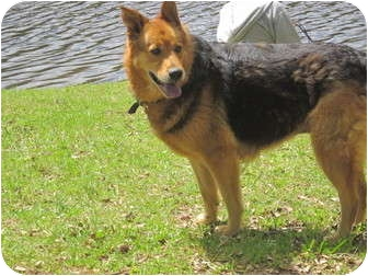 German Shepherd Dog/Golden Retriever Mix Dog for adoption in Wilmington, Delaware - Helen aka Stash