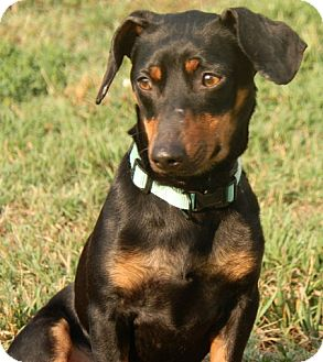 Dachshund/Miniature Pinscher Mix Dog for adoption in Nashville, Tennessee - Sonny