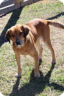 Labrador Retriever Mix Dog for adoption in Tampa, Florida - Trusty
