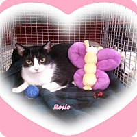 Domestic Shorthair Cat for adoption in Alamo, California - Rosie