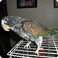 Adopt A Pet :: Captain - Neenah, WI