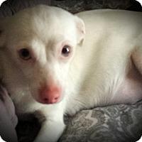 Adopt A Pet :: Lilly - Gilbert, AZ