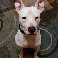 Dogo Argentino Mix Dog for adoption in Loganville, Georgia - Patrick