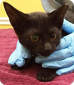American Shorthair Kitten for adoption in Metairie, Louisiana - Chiquita