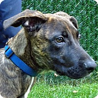 Adopt A Pet :: Dax - Port Washington, NY