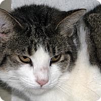 Domestic Shorthair Cat for adoption in Ruidoso, New Mexico - Rachel