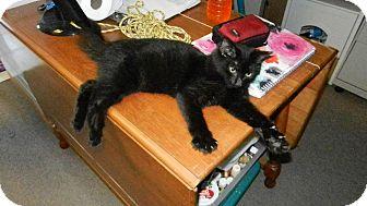 American Shorthair Kitten for adoption in Clearwater, Florida - Jinx