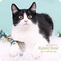 Adopt A Pet :: Oreo - Sterling Heights, MI