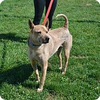 Adopt A Pet :: Bingo - Akron, OH