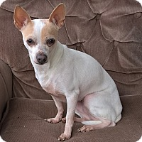 Beagle/Chihuahua Mix Dog for adoption in Aqua Dulce, California - Delilah