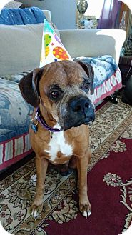 Boxer Dog for adoption in Troy, Michigan - Lucky - ADOPTION PENDING