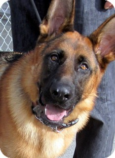 German Shepherd Dog Dog for adoption in Los Angeles, California - Prince *VIDEO*