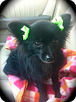 Pomeranian/Chihuahua Mix Dog for adoption in Brea, California - Little Bear