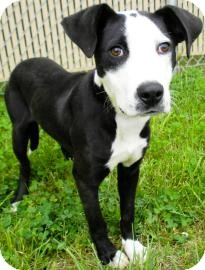 Rat Terrier/Terrier (Unknown Type, Small) Mix Dog for adoption in Lincolnton, North Carolina - Ranger