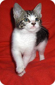 Domestic Shorthair Kitten for adoption in Richmond, Virginia - Gatsby