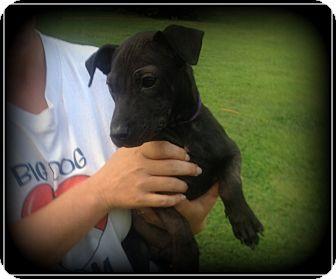 Chihuahua/Dachshund Mix Puppy for adoption in Indian Trail, North Carolina - Faith