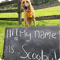 Adopt A Pet :: Scooby - Louisville, KY