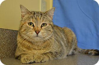 Domestic Shorthair Cat for adoption in Larned, Kansas - Joy