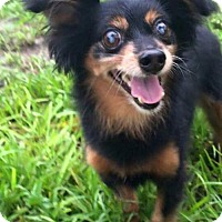 Adopt A Pet :: Ewok - Weston, FL