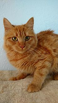 Domestic Mediumhair Cat for adoption in Alamogordo, New Mexico - Simona
