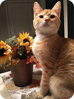 Domestic Shorthair Kitten for adoption in Mount Laurel, New Jersey - Butterfinger