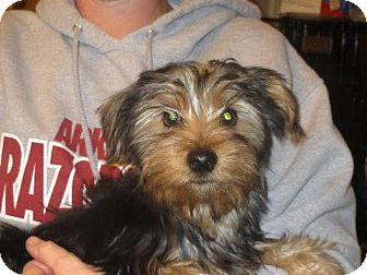 Yorkie, Yorkshire Terrier Puppy for adoption in Westport, Connecticut - Ricky