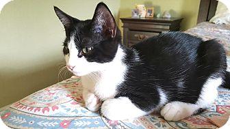 Domestic Shorthair Cat for adoption in Pasadena, California - Elias