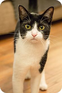 Domestic Shorthair Cat for adoption in Houston, Texas - Frankie