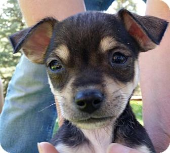 Chihuahua/Terrier (Unknown Type, Medium) Mix Puppy for adoption in Evergreen, Colorado - Quaker