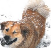 Chow Chow Mix Dog for adoption in Justin, Texas - Delilah
