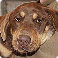 Adopt A Pet :: Willow - Brattleboro, VT