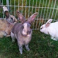 Adopt A Pet :: Sammy Jester Checkers &Zippy - Los Angeles, CA