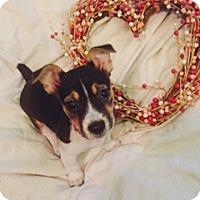 Adopt A Pet :: Pickle - Bedminster, NJ
