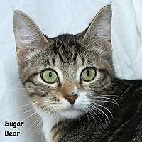 Domestic Mediumhair Kitten for adoption in Sacramento, California - Sugar Bear B